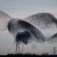 Small Starling Murmurations 1 3D Printing 136963