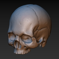 Small Skull. Without the lower jaw.  3D Printing 165900