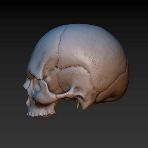 Skull. Without the lower jaw.  3D Print 165902
