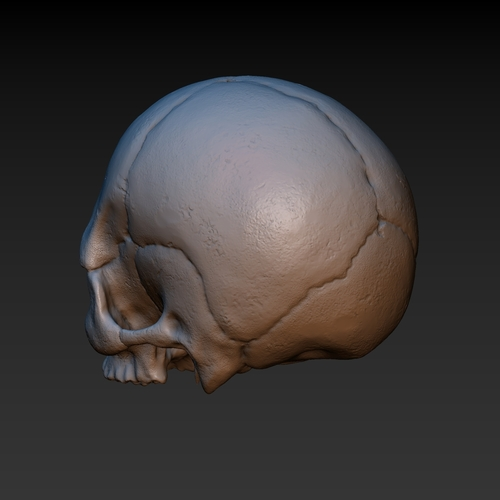 Skull. Without the lower jaw.  3D Print 165903