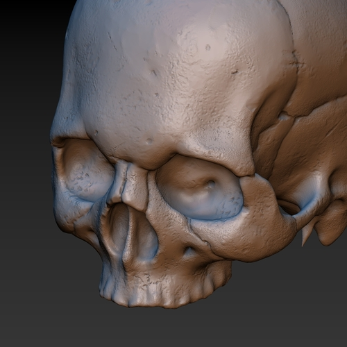 Skull. Without the lower jaw.  3D Print 165910