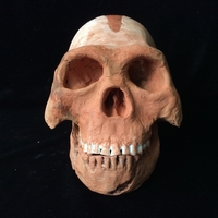Small Homo Naledi Complete Skull Reconstruction 3D Printing 166729