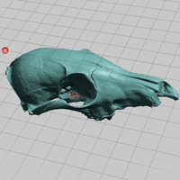 Small Juvenile Coyote Skull, NextEngine Scan 3D Printing 166751