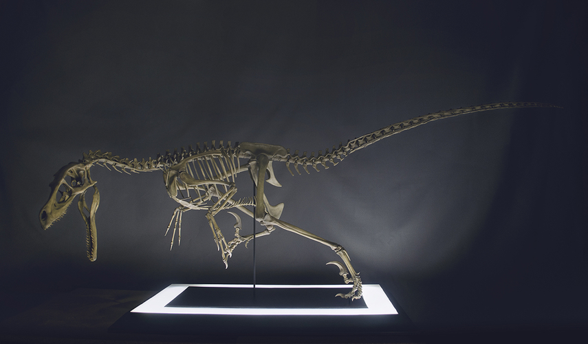 Full Size Velociraptor Skeleton Part05/05 3D Print 184850