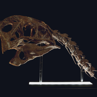 Small Life size Citipati (Oviraptor) skull   Part 1/2 3D Printing 240330