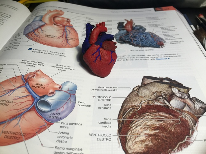 Anatomical Heart 3D Print 15348