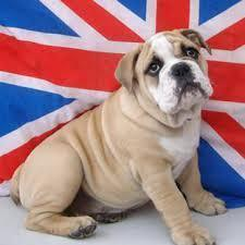 British Bulldog's avatar